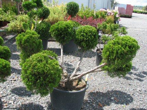 conifere-arbuste-2