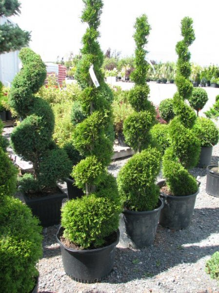conifere-spirale