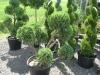 conifere-arbuste