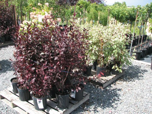 arbuste-3